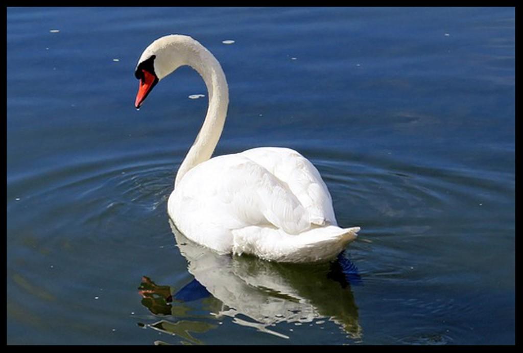 swan-335911_640